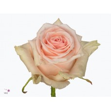 Rosa bg lovely dolomiti 50cm -Grower Mar