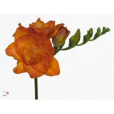 Freesia do clementine 52 cm