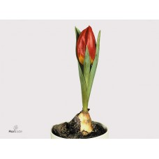 Tulip brilliant star 10 cm