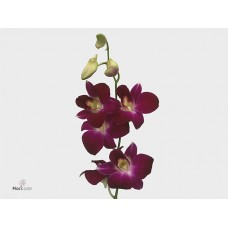 Dendrobium dark purple chl 55 cm
