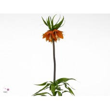 Fritillaria imperialis orange beauty 70cm