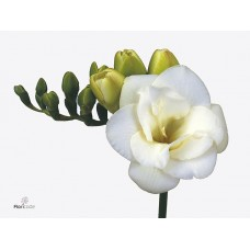 Freesia do versailles 54 cm