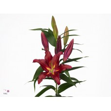 Lilium or commitment 90cm