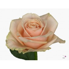 Rosa bg pearl avalanche 50cm -Grower MEI