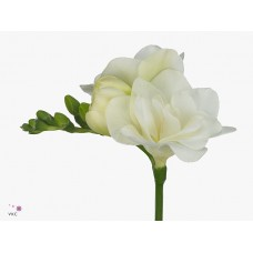 Freesia do belleville 50 cm