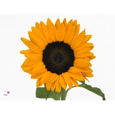 Helianthus orange fire 65 cm