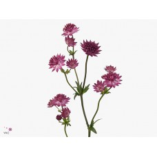Astrantia major red joyce 55 cm