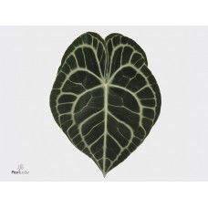 Anth clarinervium leaves 15cm