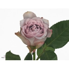 Rosa bg dancing clouds 50cm