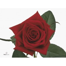 Rosa bg black magic 50 cm