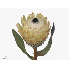 Protea barbigera ice queen 40cm