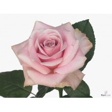 Rosa bg pink avalanche 50cm -Grower Are