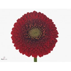 Gerbera pomponi red light 45 cm