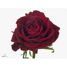 Rosa bg ever red 20 cm