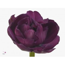 Tulip db blue diamond 36 cm