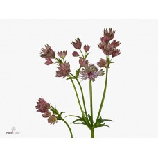 Astrantia major star of africa 40 cm