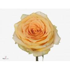Rosa bg golden temple 50 cm