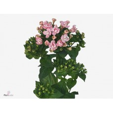 Bouvardia do diamond coral 60 cm