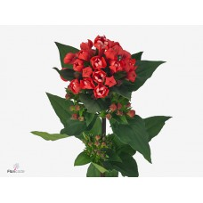 Bouvardia do diamond coral 50 cm