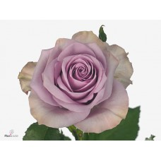 Rosa bg nightingale 50 cm