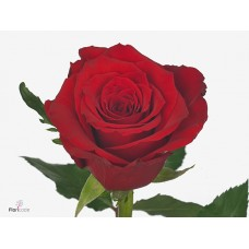 Rosa bg red torch 50cm