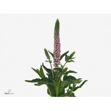 Veronica smart enjoyce 50 cm