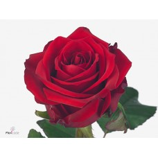 Rosa bg red eagle 55cm -Grower Are