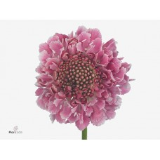 Scabiosa candy scoop 50 cm