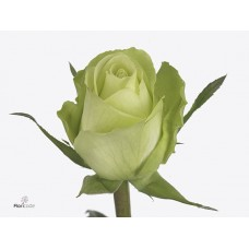Rosa bg green flash 50 cm