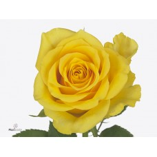 Rosa bg golden bird 50 cm