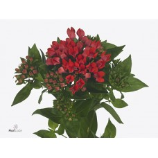 Bouvardia royal fire red 70 cm
