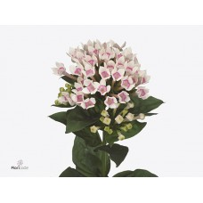 Bouvardia en royal two tone pink 70 cm