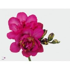 Freesia do purple rain 50 cm