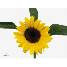 Helianthus sunrich orange 60cm