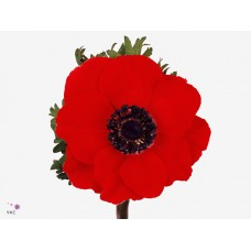 Anemone marianne red 42cm