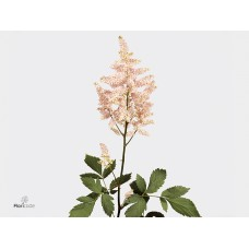 Astilbe japonica europa 60 cm