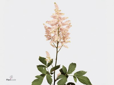 Astilbe japonica europa 50cm