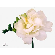 Freesia do excellent 50cm