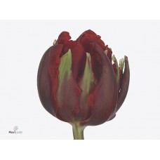 Tulip db red princess 33 cm