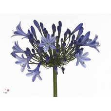Agapanthus dr brouwer 75 cm