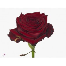 Rosa bg f ruby red 50 cm