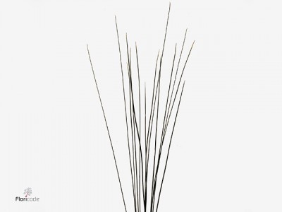 Steelgrass 120 cm REGULAR X BUNCHES