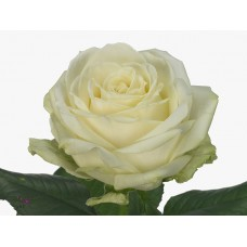 Rosa bg avalanche 50cm -Grower Are