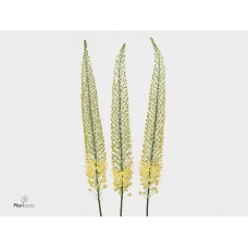 Eremurus shelford yellow sun 100cm