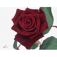 Rosa bg black baccara 50cm -Grower Are