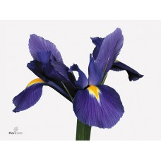 Iris blue magic 58 cm