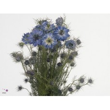 Nigella damascena blue 55cm
