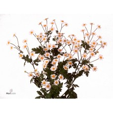 Tanacetum victory single 36 cm