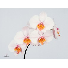 Phalaenopsis madrid x heads