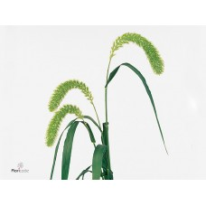 Setaria italica whole milk 70 cm